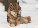 Wölfe auch im Landkreis Meißen